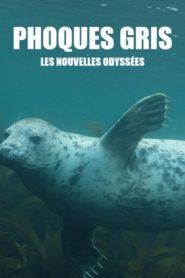 Phoques gris : les nouvelles odyssées
